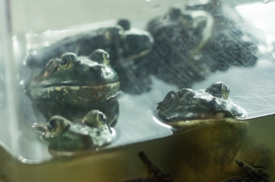 Frogs on the menu... these guys nervously watch on as people peruse their menus